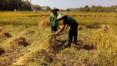 Photo of Tips Panen Padi 11,6 Ton Per Hektare Ala Gapoktan Jombang