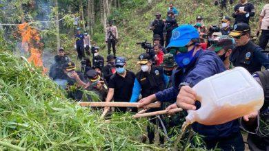 Photo of Sebanyak 9 Hektare Lahan Ganja Dimusnahkan
